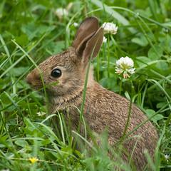 animal, hare, flower, grass, rabbit, domestic rabbit, fauna, wood rabbit, rabits and hares, wildlife,
