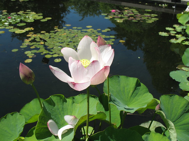 Nelumbo nucifera, on Lily Pool Terrace. Photo by Dave Allen.
