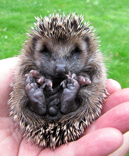 The baby hedgehog orphan