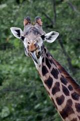 Toronto Zoo - giraffe