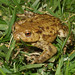 Common Toad - Photo (c) Loran, some rights reserved (CC BY)