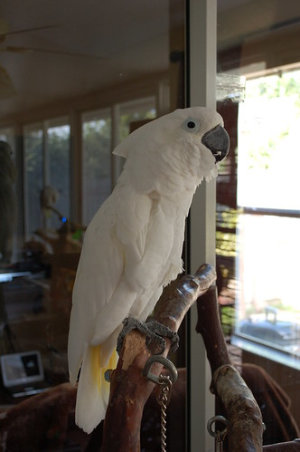 parrot training, umbrella cockatoos, training umbrella cockatoos, training cockatoos