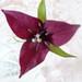 Small photo of Purple Trillium