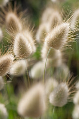 Hare's Tail Grass - Photo (c) Hervé BRY, some rights reserved (CC BY-NC-SA)