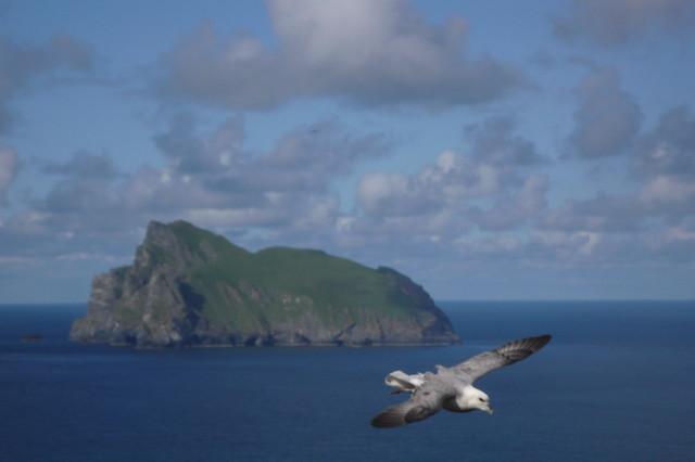Fulmar boreal en el Archipiélago de San Kilda, Hébridas Exteriores de Escocia. Reino Unido