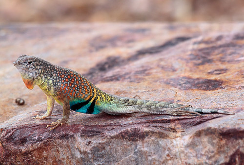 male greater earless lizard 3,