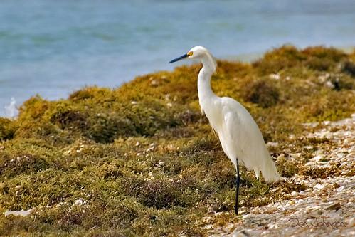snowy egret bocagrande reddriftalgae