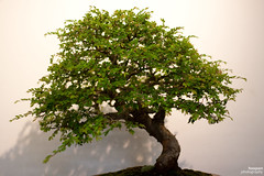 branch, tree, plant, sageretia theezans, houseplant, produce, bonsai,