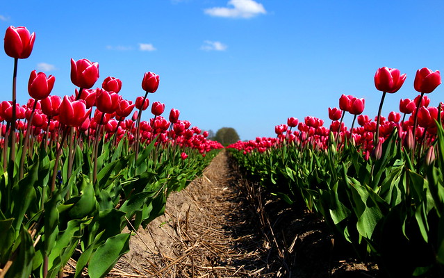 Tulip Street – The Netherlands