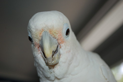 is your parrot s peeling beak normal