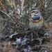 Bluethroat (Luscinia svecica) by Ronan.McLaughlin