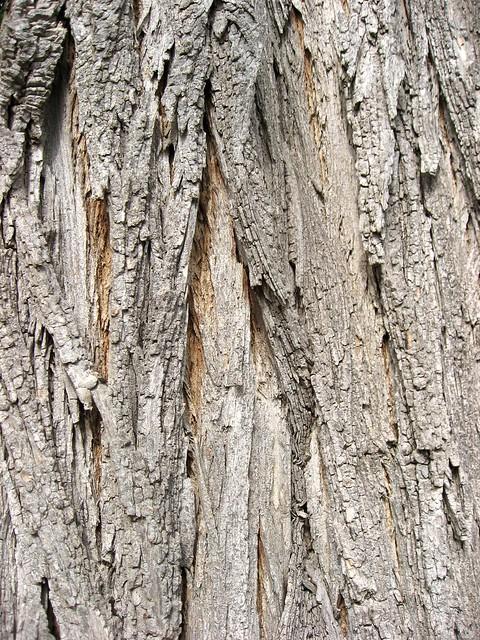 Black Locust Tree Bark 老槐樹皮 Flickr Photo Sharing