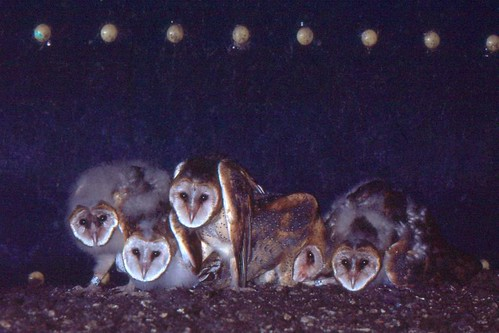 Young Barn Owls in Grain Silo Nest (1982)