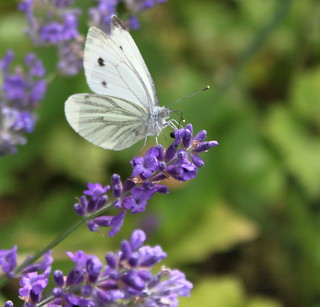 Even Madame Butterfly loves the smell of Lavender