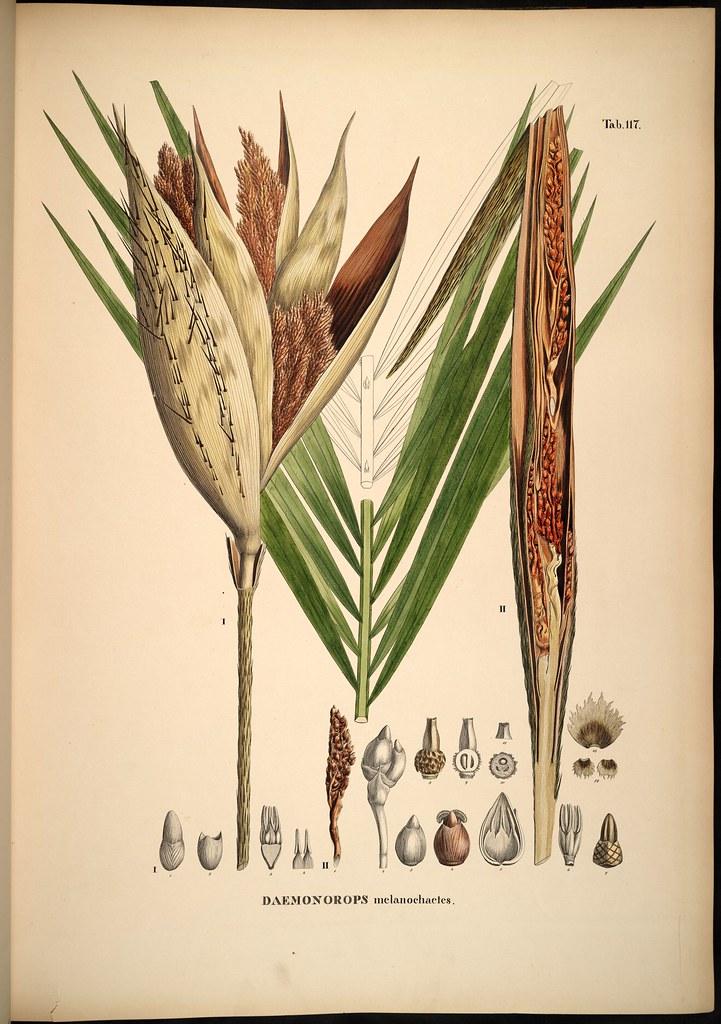 Daemonorops melanochaetes