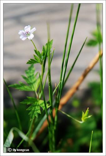 内蒙古植物照片-牻牛儿苗科老鹤草属鼠掌老鹳草
