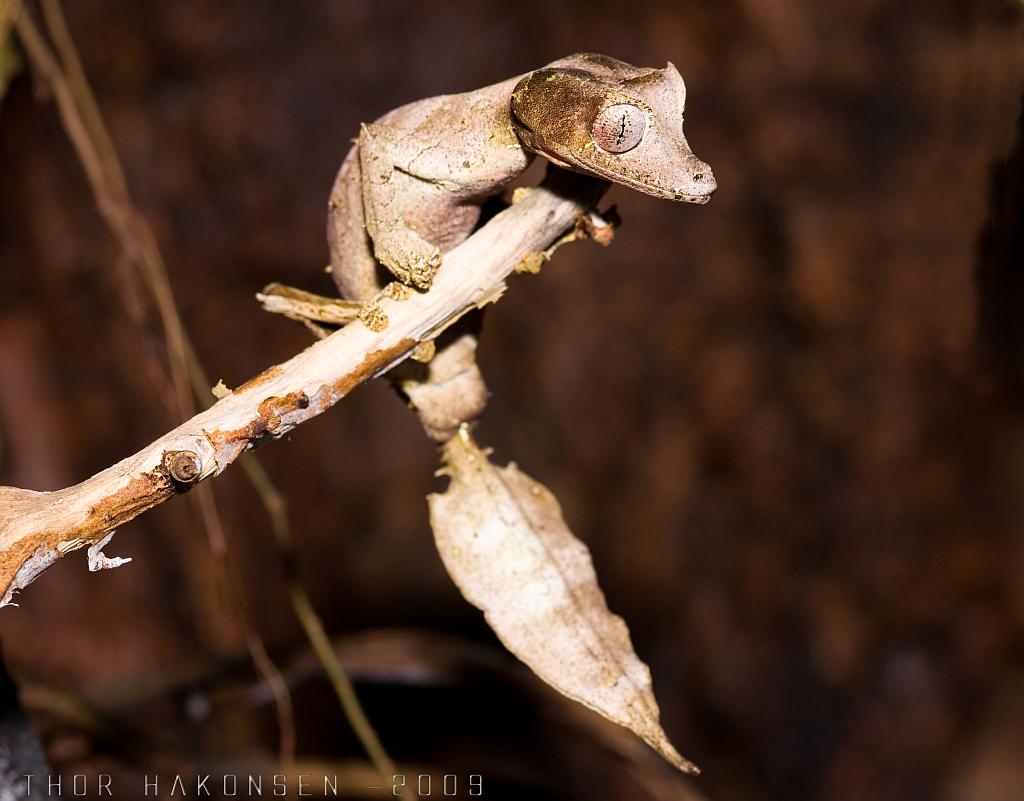 Uroplatus phantasticus - Satanic Leaf-tailed gecko