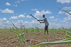 Joao works in his maize field in Mozambique. Photo by Kate Raisz.