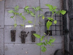 Tomato-5BurwoodPrize-8921