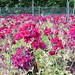 Small photo of Verbena 'Claret'