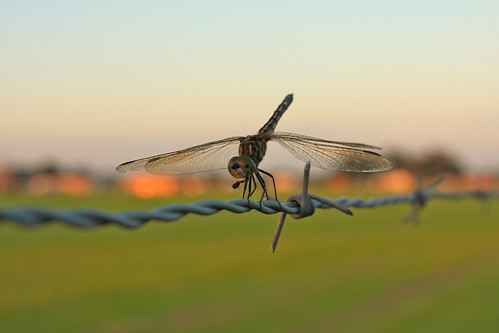 sunset field fly dragon dragonfly barbedwire carencrola