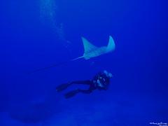 diving(0.0), freediving(0.0), manta ray(1.0), fish(1.0), underwater diving(1.0), marine biology(1.0), water sport(1.0), underwater(1.0), blue(1.0),