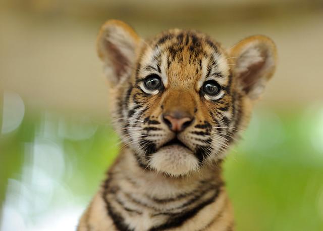 Siberian Bengal Tiger Cub | Flickr - Photo Sharing!