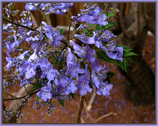 4007172655 4f4265ac92 z jpg zz 1Jacaranda Mimosifolia Flowers