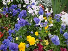 aubrieta(0.0), pansy(1.0), annual plant(1.0), flower(1.0), garden(1.0), plant(1.0), wildflower(1.0), flora(1.0), viola(1.0),