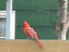 animal, perching bird, wing, pet, fauna, cardinal, beak, bird,