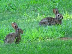animal, prairie, hare, grass, rabbit, domestic rabbit, pet, fauna, wood rabbit, meadow, pasture, grassland, rabits and hares, wildlife,