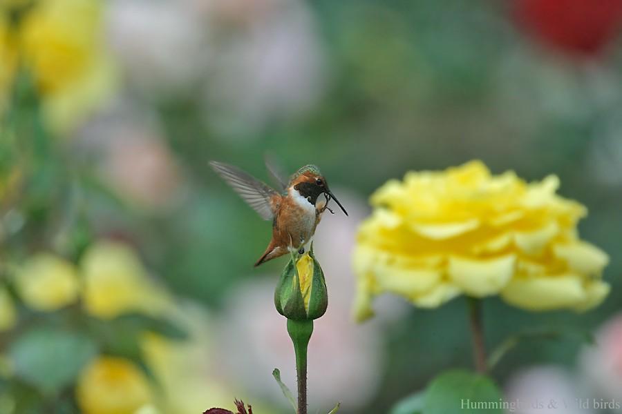 Allen's Hummingbird05091-2
