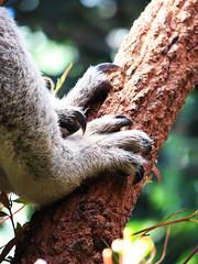 Koala Claws