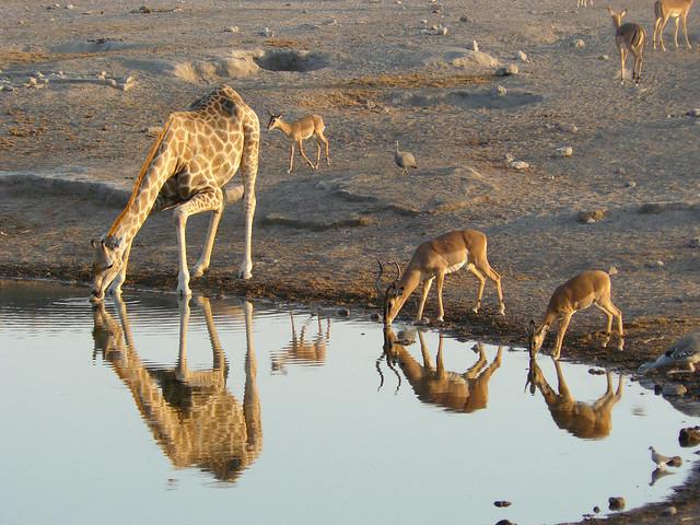 Jirafa e impalas de cara negra en el Parque Nacional Etosha, Namibia