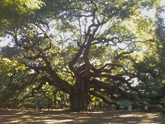 Angel Oak tree on °Johns° Island