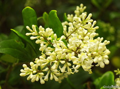 Ligustrum bud/flower
