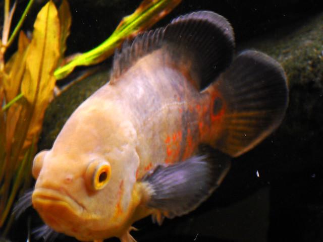 White Oscar Fish - a p...