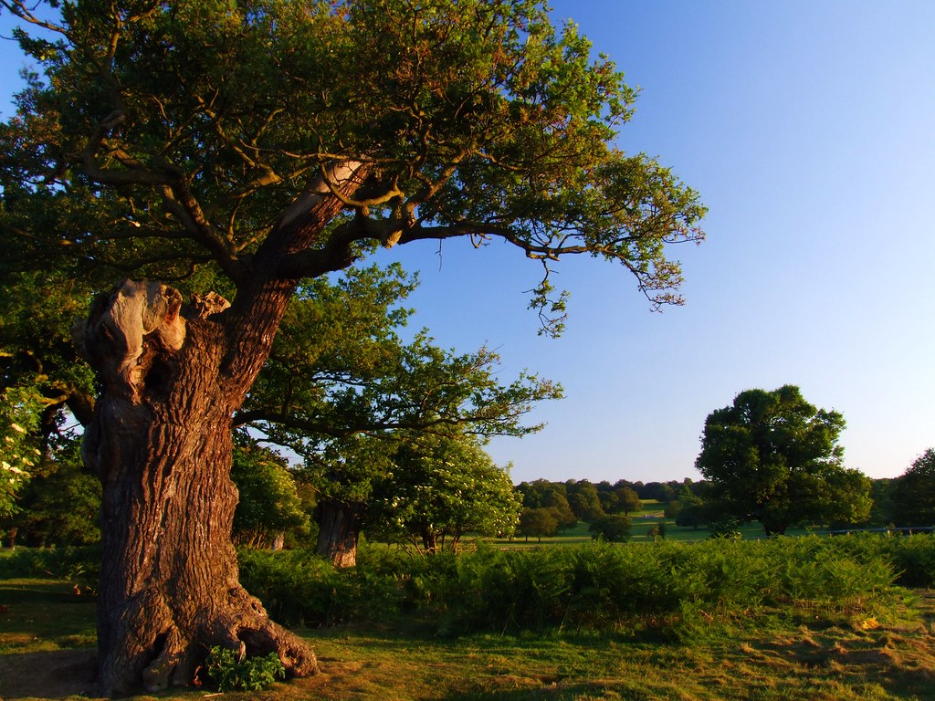 England - summer evening in Richmond Park