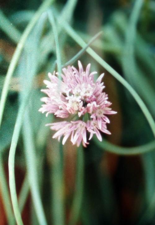 Allium schoenoprasum 3594326619_76f9a5637b_o