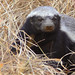 Honey Badger - Photo (c) Arno Meintjes, some rights reserved (CC BY-NC)