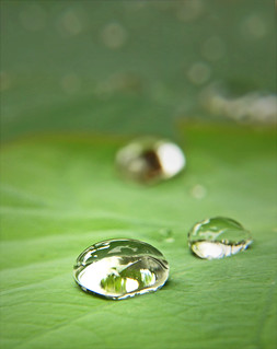 Lotus leaf in the rainy season