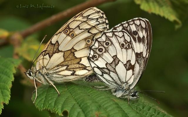 Cópula - Melanargia galathea