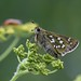 Silver-spotted Skipper - Photo (c) Alastair Rae, some rights reserved (CC BY-SA)