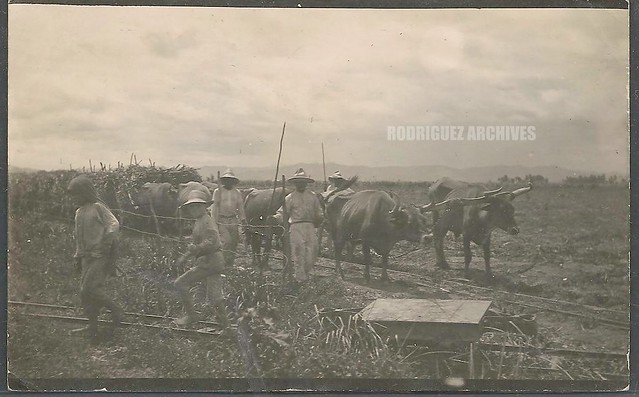 SUGAR INDUSTRY - Eight ox team hauling sugar cane to Sugar Mill. - Real Photo Post Card mailed San Juan July 27, 1913