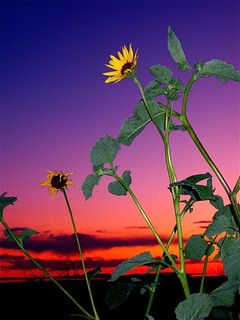 Sunflowers By Last Light