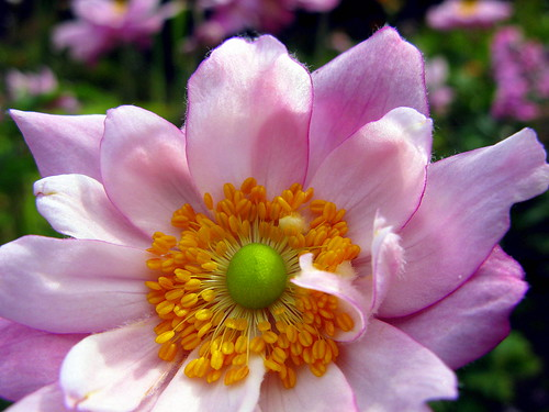 pink ireland flower green anemone