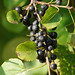Common Buckthorn - Photo (c) JanetandPhil, some rights reserved (CC BY-NC-ND)