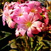 Small photo of Lewisia flower