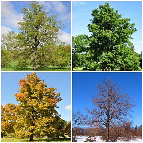 maple through time:  four seasons