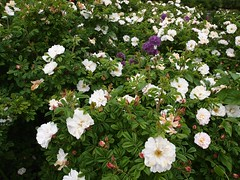 rosa wichuraiana, shrub, floribunda, flower, plant,